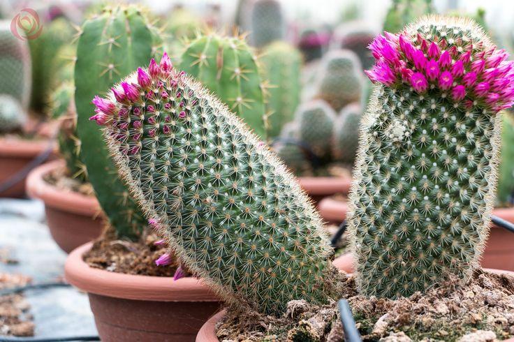 Mammillaria Spinosissima #EUROSA #Cactusmania