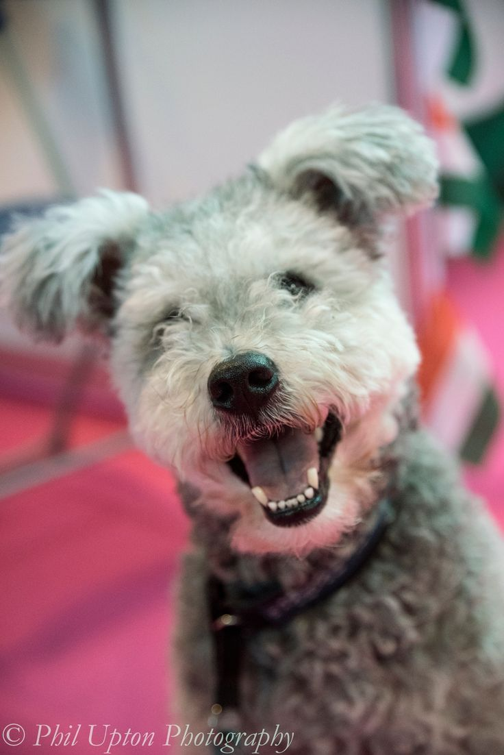 Hungarian Pumi - Hungarian Pumi at Crufts Dog Show 2015