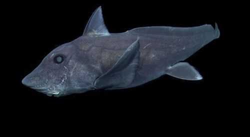 Graban por primera vez a un tiburón fantasma