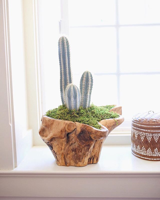 Cacti Arrangement in a Teak Root Container by Dalla Vita