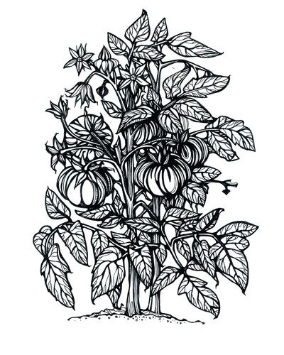 13 best images about tomato plant art on pinterest fruit for Tomato plant coloring page