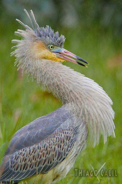 The Whistling Heron, Syrigma sibilatrix (Pelecaniformes - Ardeidae), is endemic to South America,