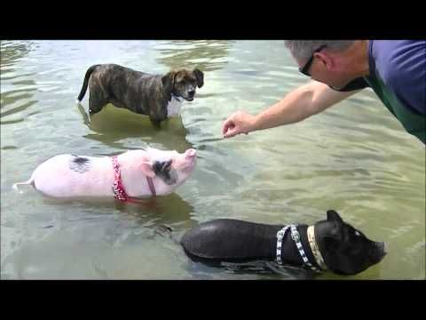 Mini Pigs at the Dog Beach Begging for Food (Prissy and Bomber Show)