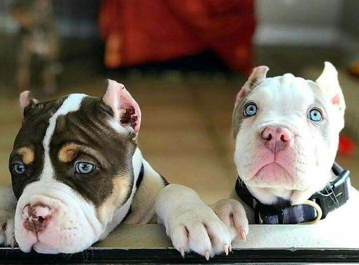 Pin By The Carpender On Pitbulls Pitbulls Beautiful Dogs Dogs