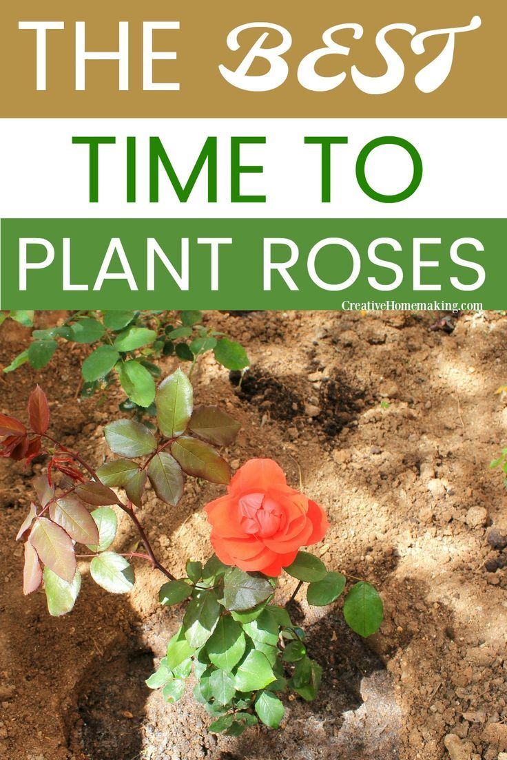 When To Prune Knock Out Roses Holcomb Garden Center Knockout Roses Pruning Knockout Roses Rose Care