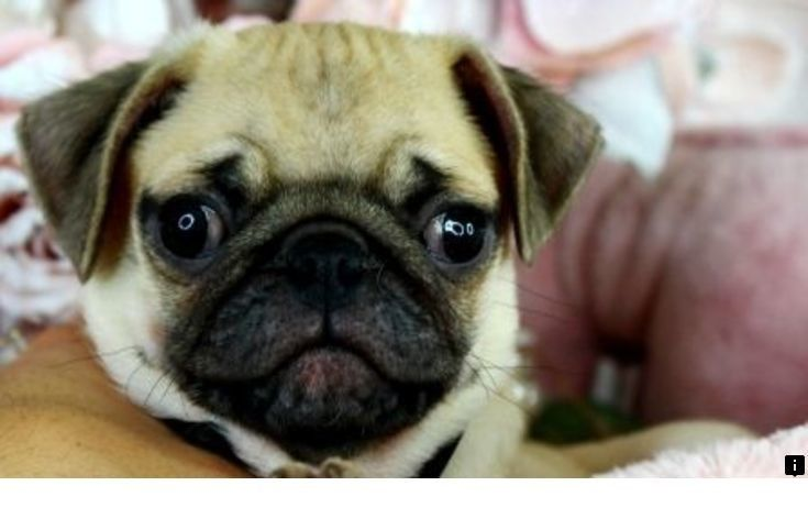 Head To The Webpage To Read More About Black Pug Puppies For