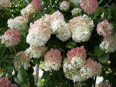 seeds of this old fashioned hydrangea shrub hydrangea. Black Bedroom Furniture Sets. Home Design Ideas