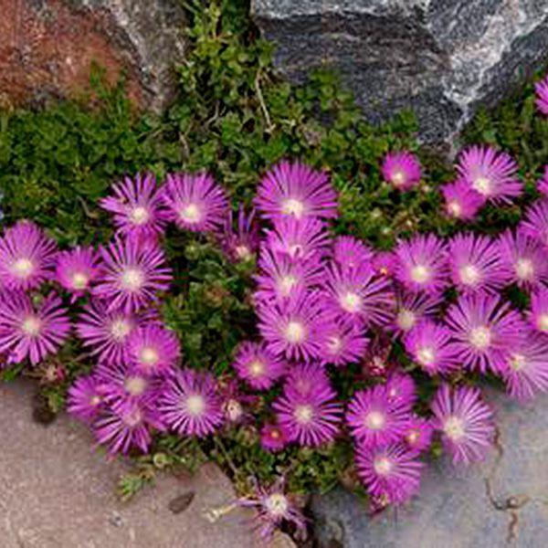 Purple Ice Plant Delosperma cooperi Jeepers Creepers USA Perennial Plants