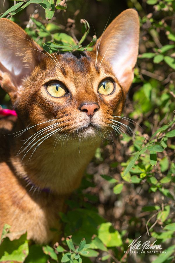 Abyssinian cat grooming