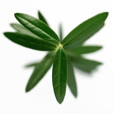 Olive Leaf is a powerful and effective medicinal that contains tremendous healing properties for the immune, cardiovascular, circulatory, respiratory, digestive, and lymphatic system. It is particularly beneficial in fighting viruses and bacteria in the body such as Shingles, Herpes, E. coli, Salmonella, Staphylococcus, and Klebsiella pneumonia and can help to wipe out colds & flu viruses faster than most medications.
