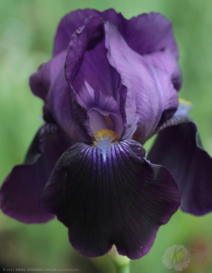 Iris 'Sable Night'. The perfect purple iris.