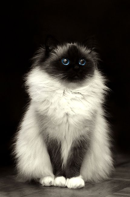 black & white cat. Looks like this cat is wearing a white furry vest