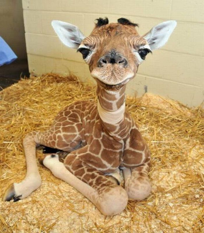 baby giraffe pictures | Baby Giraffe - Big Pics - funny picture