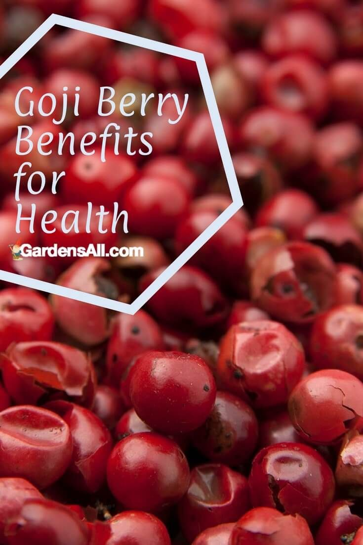 Growing Goji Berries And Goji Berry Health Benefits Growing Goji