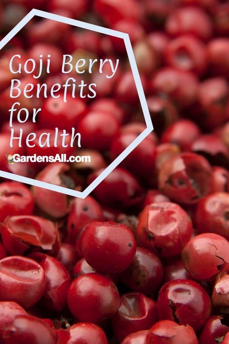 Growing Goji Berries And Goji Berry Health Benefits Growing Goji