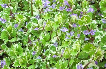 Lechoma Hederacea Variegata Variegated Ground Ivy Fast Creeper With White Variegation On Green Leaves Small Purple Flower Spikes Bloom To Enha