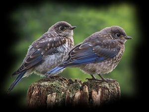 296 Best Bluebirds Images On Pinterest