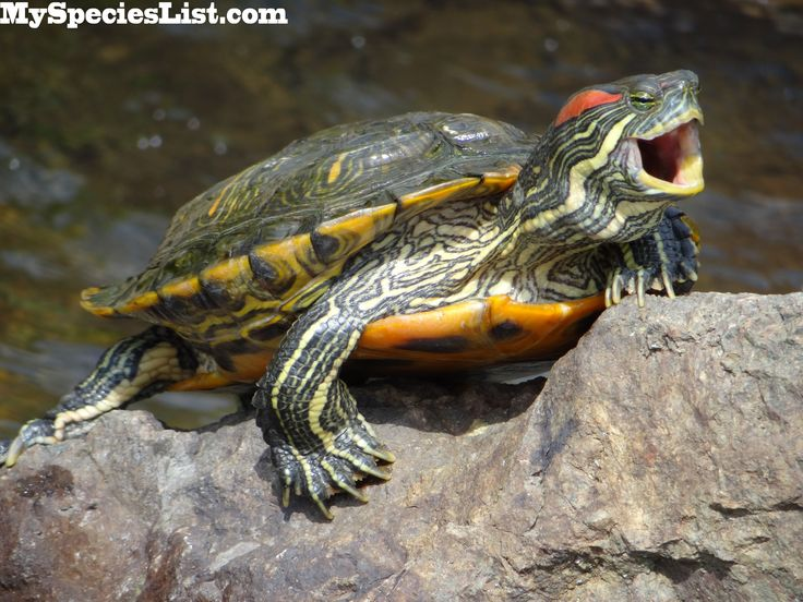 Red-Eared Slider | Pics Photos - Red Eared Slider Turtle Swim In The Turtle Tank At The ...