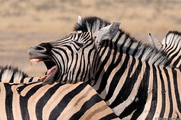 Laughing zebra...