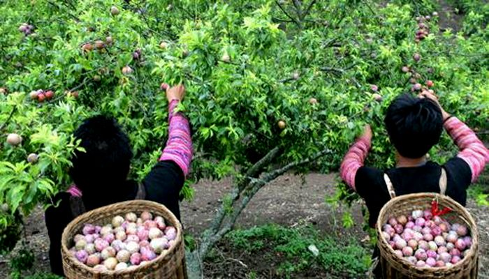The picking plum festival is the unique event in Moc Chau Town, Son La Province, in the Northwest of Vietnam. The festival is happened in the ripe plum season that is usually in May of the year. Have a trip to come here to pick the great ripe plums together with the local ethnic people!