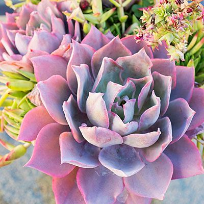 The crown jewels of the rosette-forming succulents, easy-care Echeveria come in a rainbow of colors and can be easily found at nurseries. Some of our top picks include rose-colored 'Afterglow', frilly-edged 'Blue Curls', deep purple 'Black Prince', and pearly lavender 'Perle von Nurnberg'. All Echeveria perform splendidly in containers and grow well in garden beds in mild-summer areas.