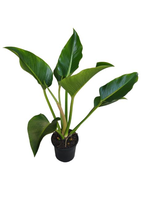 Philodendron 'Congo' (USA Clone) - 200mm pot