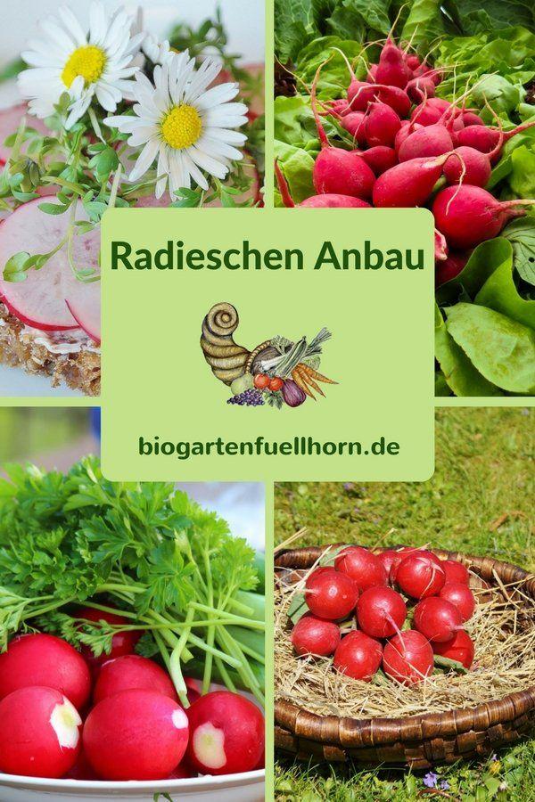 Der Anbau von Radieschen - Tipps und Anleitungen #radieschen anbauen #garten #selbstversorger