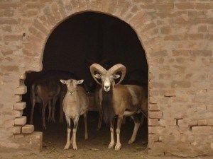 organic horny goat weed
