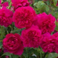 Thomas à Becket - David Austin Roses
