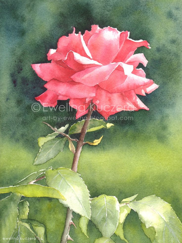 Rose, A4.  #watercolor #painting #rose #pink #green #leaves #nature #garden #sunnyday #art #illustration #ewelinakuczera #pink