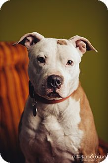 chrome bracelet adopt these loving animals  Pitbulls
