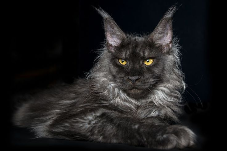 black smoke maine coon | Maine Coon Cats | Pinterest
