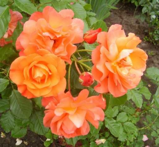 Размножение роз методом буррито — укоренение черенков в газете!