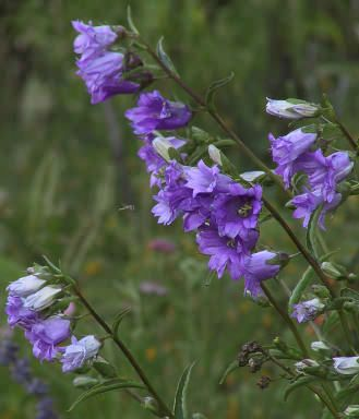 The 104 best campanula cottage images on pinterest cottages cabin campanula trachelium bernice cag00953 mightylinksfo