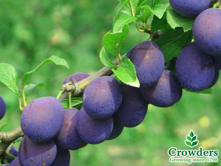 Be that little bit different and choose a damson tree for your garden! The MerryweatherDamson Plum Tree produces culinary and dessert damsons with a heay crop of large blue-black fruits ripening in early September through to October. This hardy tree needs planting in full sun, and requires back-filling with soil missed with peat substitute and a suitable fertiliser.