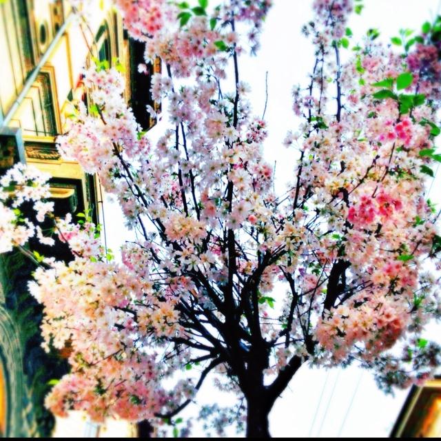 Ciliegi in fiore.. via Orefici