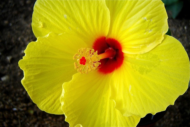 Yellow Hibiscus by Andreanna Moya Photography: The Yellow Hibiscus (Ma-0 hau hele or the Pua aoloalo0 was chosen as the state flower of Hawaii in 1998 and is a rare and endangered plant which can be found growing on all of the Hawaiian Islands except Kaho'olawe and Ni'ihau. via http://hawaiianflower.org/ #Hawaii #Yellow_Hibiscus #Andreanna Moya_Photography