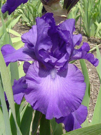 one of my iris I ordered -  plant in the fall for Spring bloom.