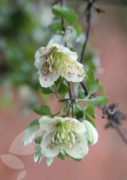 Buy fern-leaved clematis (group 1) Clematis cirrhosa var. 'balearica': Delivery by Crocus.co.uk