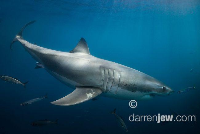 Great White Shark, Neptune Islands, South Australia