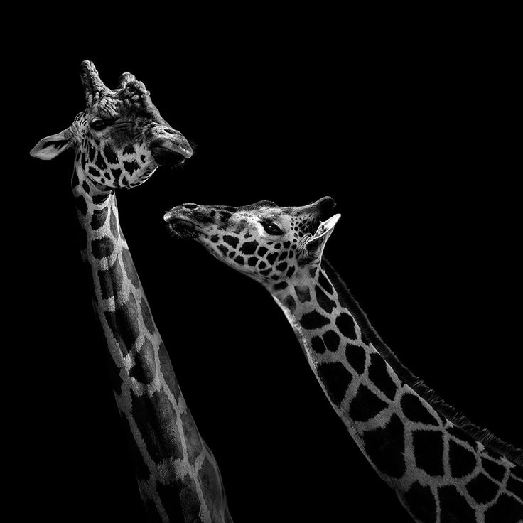 Best Animal Images On Pinterest Animals Wild Animals And - Powerful and intimate black white animal portraits by luke holas