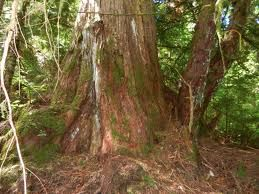 Image result for western yew tree