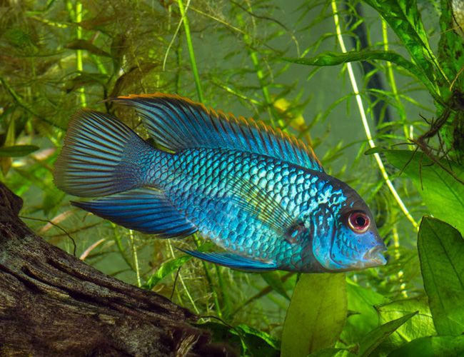 Electric blue acara aequidens pulcher freshwater life for Electric fish tank