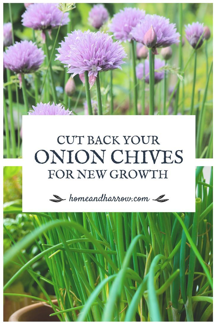 Home And Harrow Chives Plant Growing Chives Planting Onions