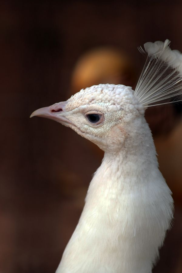 Albino Peacock | Birds | Pinterest | Patrick o'brian ...