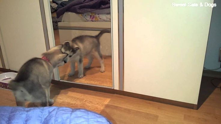 Cute Husky Puppy vs Mirror