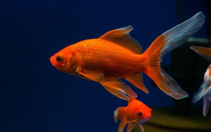Download wallpapers goldfish, aquarium, 4k, beautiful fish, seaweed