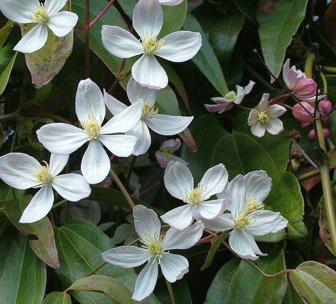 Clematis - Clematis armandii - Wintergroen (kleine bloemen mooier)