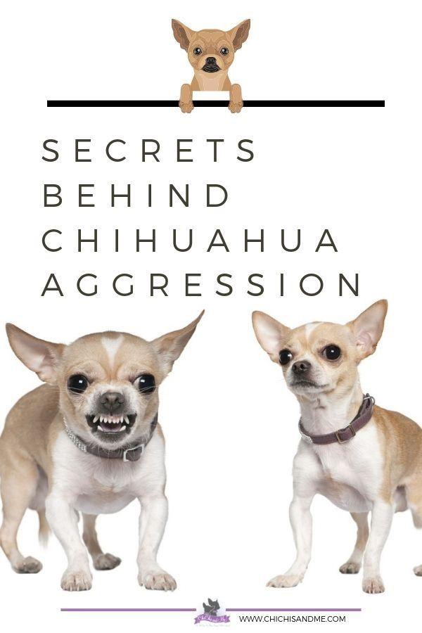 Secrets Behind Aggressive Behavior In Chihuahuas Chihuahua Blue
