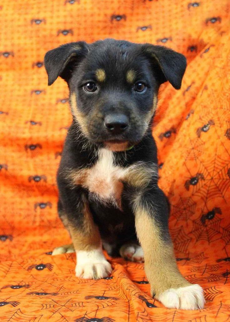 Australian Shepherd Rottweiler Mix Puppies For Sale (With